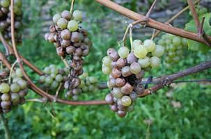 Villers la vigne actualit s vendanges du phoenix compte - Maladie du raisin photo ...